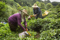 Turkey, Mebers of etnic minority the Laz work in tea plantations in the coastal mountains
