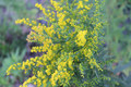 Autumn Goldenrod