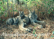 Audlt Lynx with Kittens resting in Shade