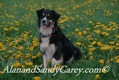 Border Collie in Spring Flowers