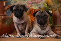 Pug Adult and Puppy