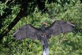 Red headed vulture drying wings