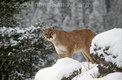 Mountain Lion, Winter